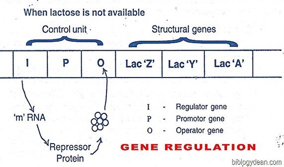 Operator gene