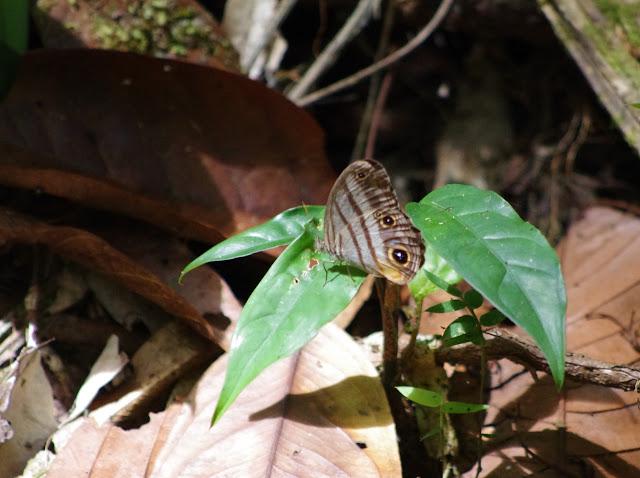 Caeruleuptychia brixius (GODART, [1824]). Crique Tortue en amont de Saut Athanase, 6 novembre 2012. Photo : J.-M. Gayman