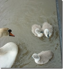 14 bold cygnets with dad