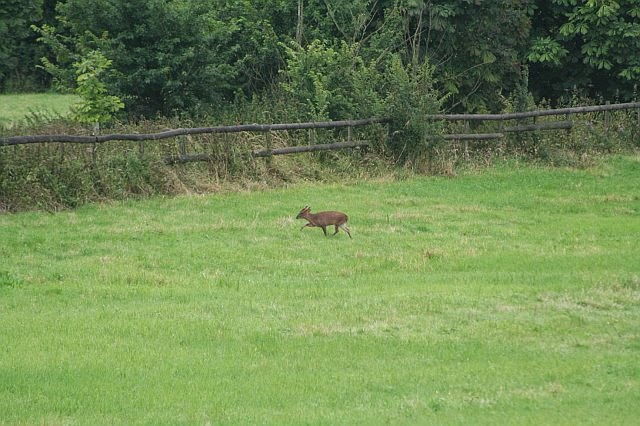 Woodhurst Wildlife Muntjac In The Grassfield - muntjac04.jpg