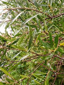 filaire à feuilles etroites 2.JPG