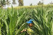 jagung sehat untuk tubuh dan kecantikan kulit