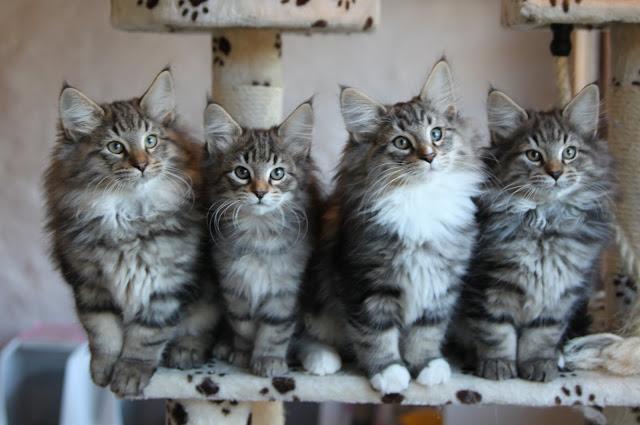 portee chatons norvegiens brown tabby