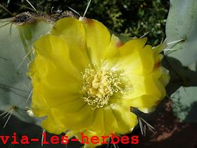 fleur de figue de barbarie (1).jpg