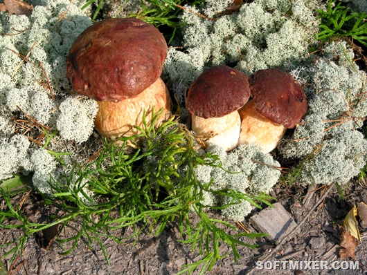 Three_Boletus_edulis