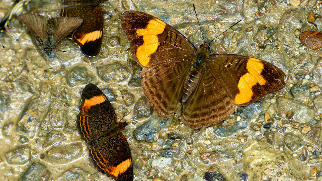À gauche : Telenassa delphia elaphina (Röber, 1913). À droite : Adelpha irmina tumida (A. Butler, 1873). Chovacollo, près de Coroico, 1800 m (Yungas, Bolivie), 27 décembre 2014. Photo : Jan Flindt Christensen