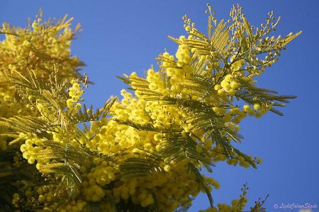yellow-mimosa-blossom