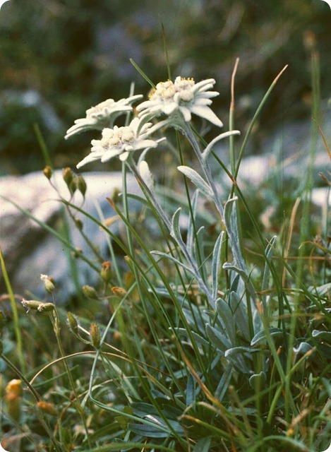 Flora-alpina-Leontopodium_alpinum1