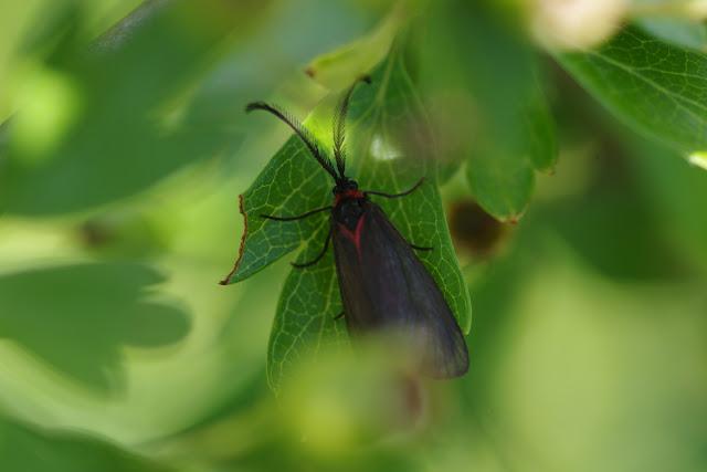 Zygaenidae : Chalcosiinae : Aglaope infausta (Linnaeus, 1767). Les Hautes-Courennes, Saint-Martin-de-Castillon (Vaucluse), 15 juin 2015. Photo : J.-M. Gayman