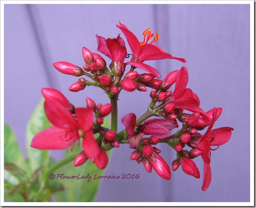 12-09-spicy-jatropha