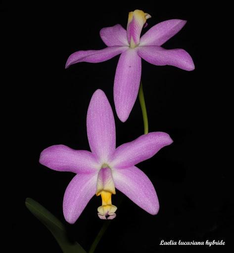 Laelia lucasiana hybride IMG_8416b%252520%252528Large%252529