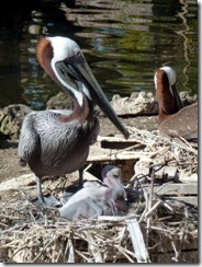 Pelican with chicks