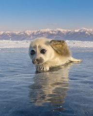 Seal Pup Wave