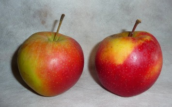 jabłko gala