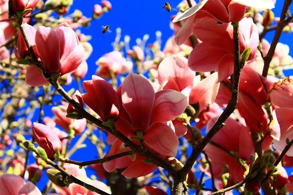 Api e fiori di magnolia di lukich