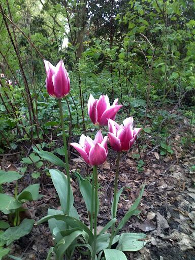 Тюльпаны. Весна 2012. Дортмунд
