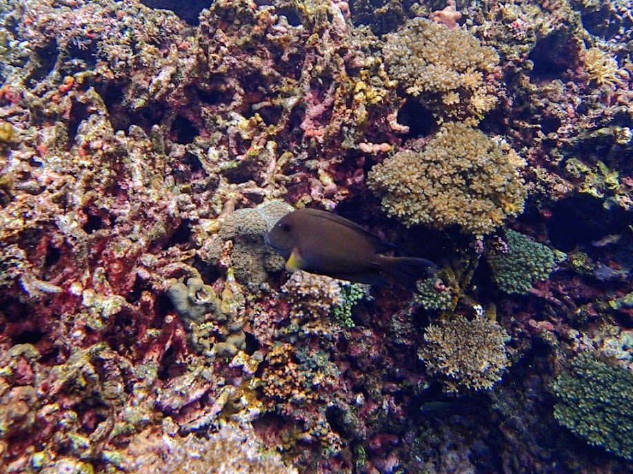 Ctenochaetus striatus (Striped Bristletooth Tang), Small Lagoon, Miniloc Island, Palawan, Philippines.