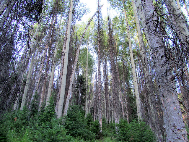 Tall pines and aspen