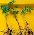 Curry Leaf Plantseedlings grown from seeds