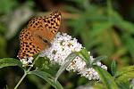Kejserkåbe - hun på sommerfuglebusk.jpg