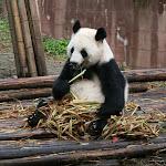 Parc des pandas de Chengdu (Chine)
