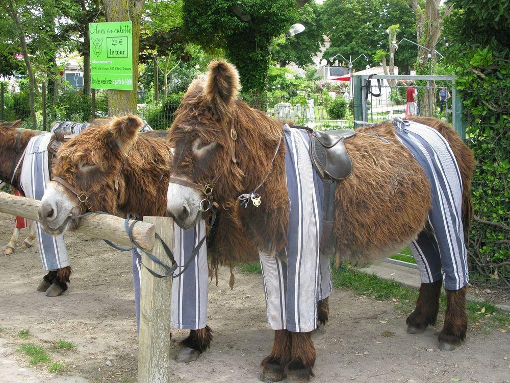 poitou-donkeys-3