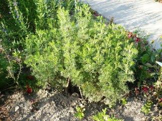 Bylica boże drzewko Artemisia abrotanum