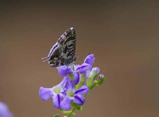 Cacyreus lingeus STOLL, 1782. Yaoundé (Cameroun), 7 avril 2012. Photo : J.-M. Gayman