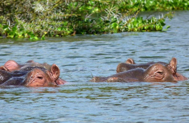 #wildlifesafaritanzania #Travelbloggerindia #Travelblog #Tanzaniatravelblog #tanzaniatourism #Tanzaniawildlifespotting #wildlifesafariafrica #Ngorongoroconservationarea #hippos