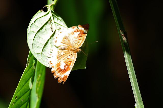 Riodinidae : Synargis tytia tytia (CRAMER, 1777), femelle. Patawa (Montagne de Kaw), 23 octobre 2012. Photo : J.-M. Gayman