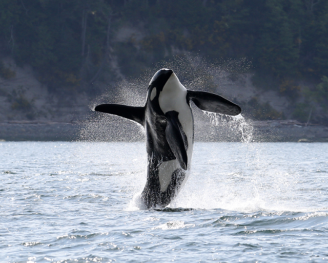 Southern Resident killer whale J-34, or Doublestuf, breaching in the interior waters of the Salish Sea, during Spring 2016. It's a remarkable and frightening photo for orca lovers, because the male orca's ribs are protruding prominently, which is abnormal, especially for a resident killer whale at this time of year, when the orcas are typically well fed after a winter of preying on Chinook salmon Photo: Mark Malleson