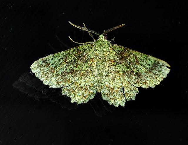 Geometridae : Geometrinae : Hypodoxa muscosaria GUÉNÉE, 1857. Umina Beach (New South Wales, Australie), 6 mars 2011. Photo : Barbara Kedzierski