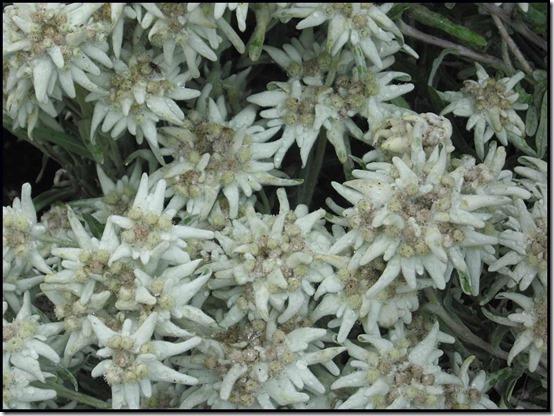 2811-Ginzling-Edelweiss-Leontopodium-alpinum