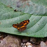 Eresia polina lycus (HALL, 1928). Piste de Gualchan à Chical, 1600 m (Carchi, Équateur), 3 décembre 2013. Photo : J.-M. Gayman