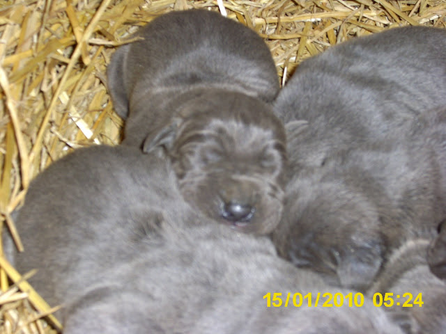 Sofia's first litter @ 1 week