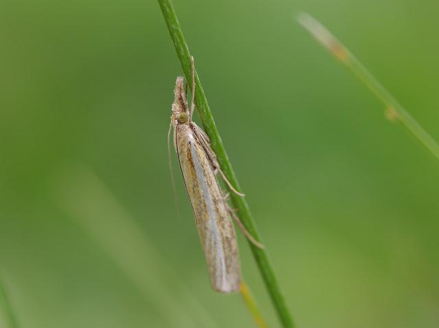 Crambidae : Crambinae : Agriphila tristella ([DENIS & SCHIFFERMÜLLER], 1775). Les Hautes-Lisières (Rouvres, 28), 23 août 2012. Photo : J.-M. Gayman