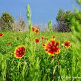 05-26-14 Texas Wildflowers - IMGP1393.JPG