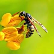 К чему снятся осы?