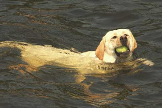 """Gracie"" retrieving a tennis ball from the lake."