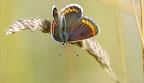 Rødplettet blåfugl, Kongskilde 12-7