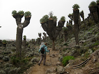 Kili Climb Day 3 - crazy trees