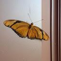 Julia Longwing Butterfly