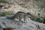 A native squirrel, common to this region.