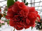 濃紅色 八重〜牡丹咲き 大輪