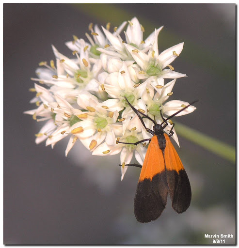 Black-and-yellow Lichen Moth