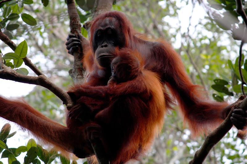 Una mamá y su cría de orangután
