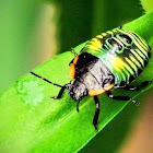 Green stink bug, fourth instar nymph
