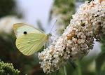 Stor kålsommerfugl på hvid sommerfuglebusk.2.jpg
