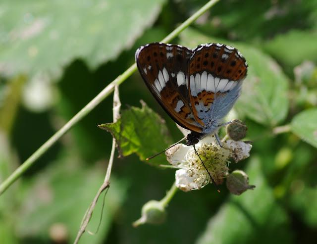 Limenitis camilla (L., 1764). Les Hautes-Lisières (Rouvres, 28), 17 juin 2012. Photo : J.-M. Gayman