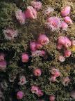Jewel anemone: pink jewel anemones